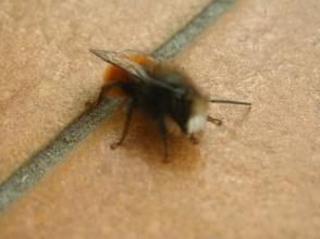 malemasonbee